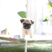 Black Pugs Puppies For Sale | Baby Pug For Sale | Boutique ...