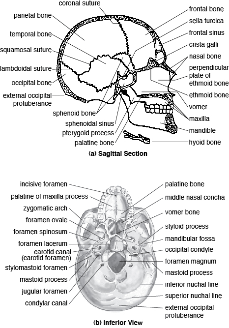 Human Skeleton Quiz Anatomy