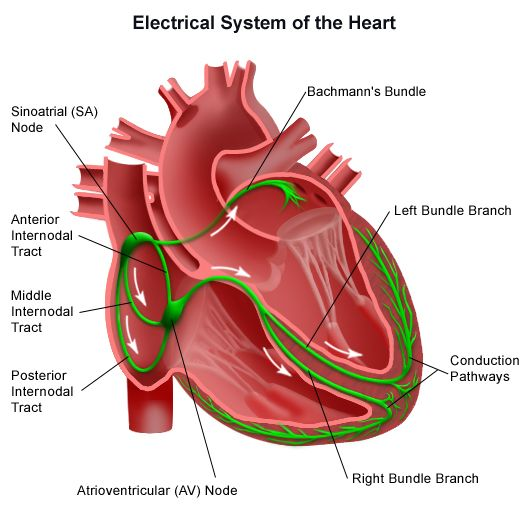 Heart Conduction System Circulatory System Cardiology And Medical