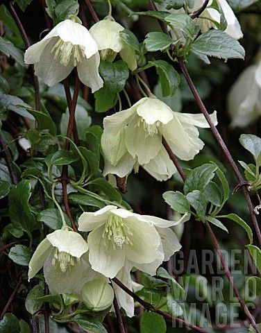 Clematis Cirrhosa 'wisley Cream' Is A Large Evergreen