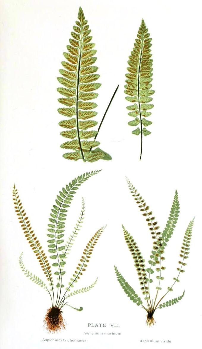Leaf Of A Fern Botanical Tree Ring Diagram Vintageprintable Vintage Printable At Swivelchair Media Beta