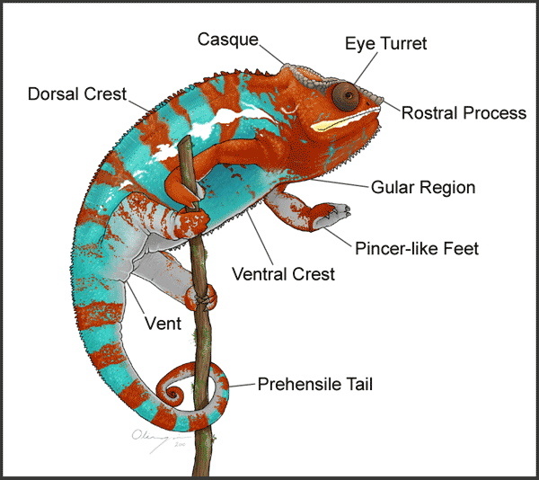 This Is The Best Site I Have Found For Caring For Chameleons I