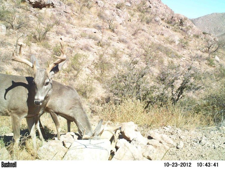 Blm new mexico critter cam coues whitetail deer with