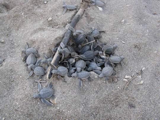 Des bb tortue de Mayotte  Mayotte  Pinterest  Bb tortue Tortue et Les bb