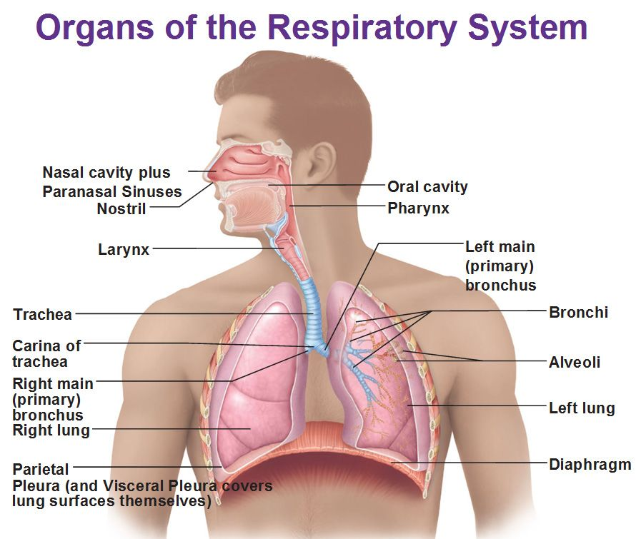Paranasal Sinuses Diagram Show