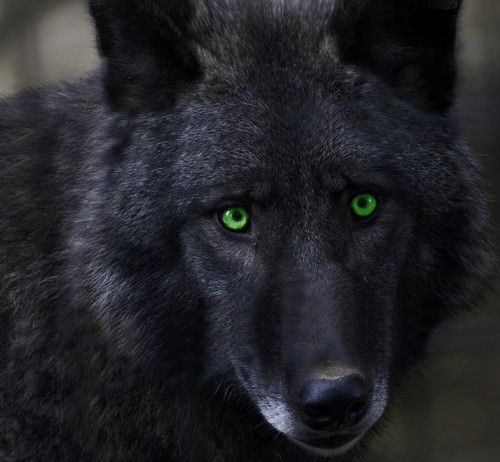 Black Wolf Yellow Eyes Hunting
