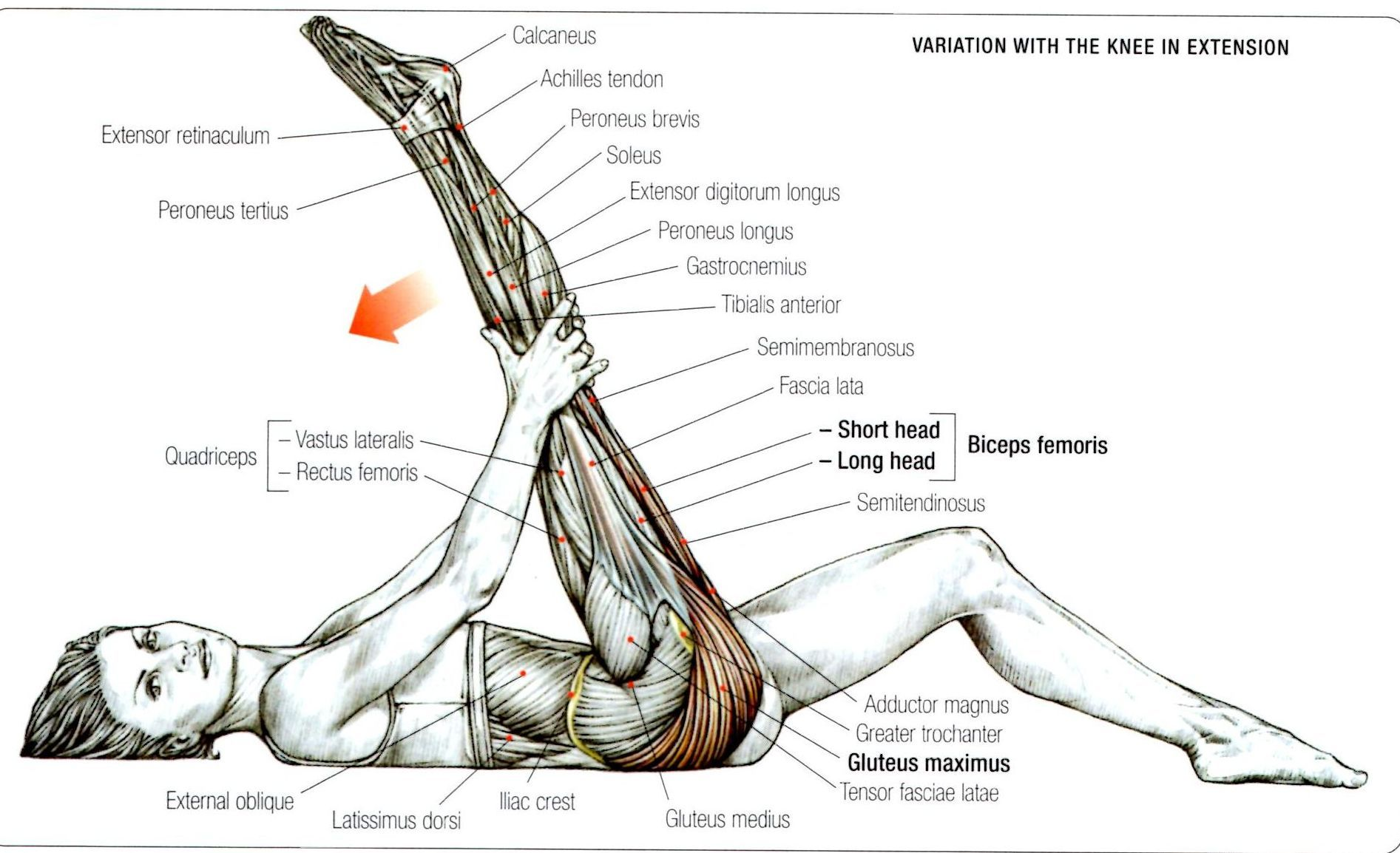 gluteus muscles diagram pain house lighting wiring uk stretching maximus exercise strengthens and