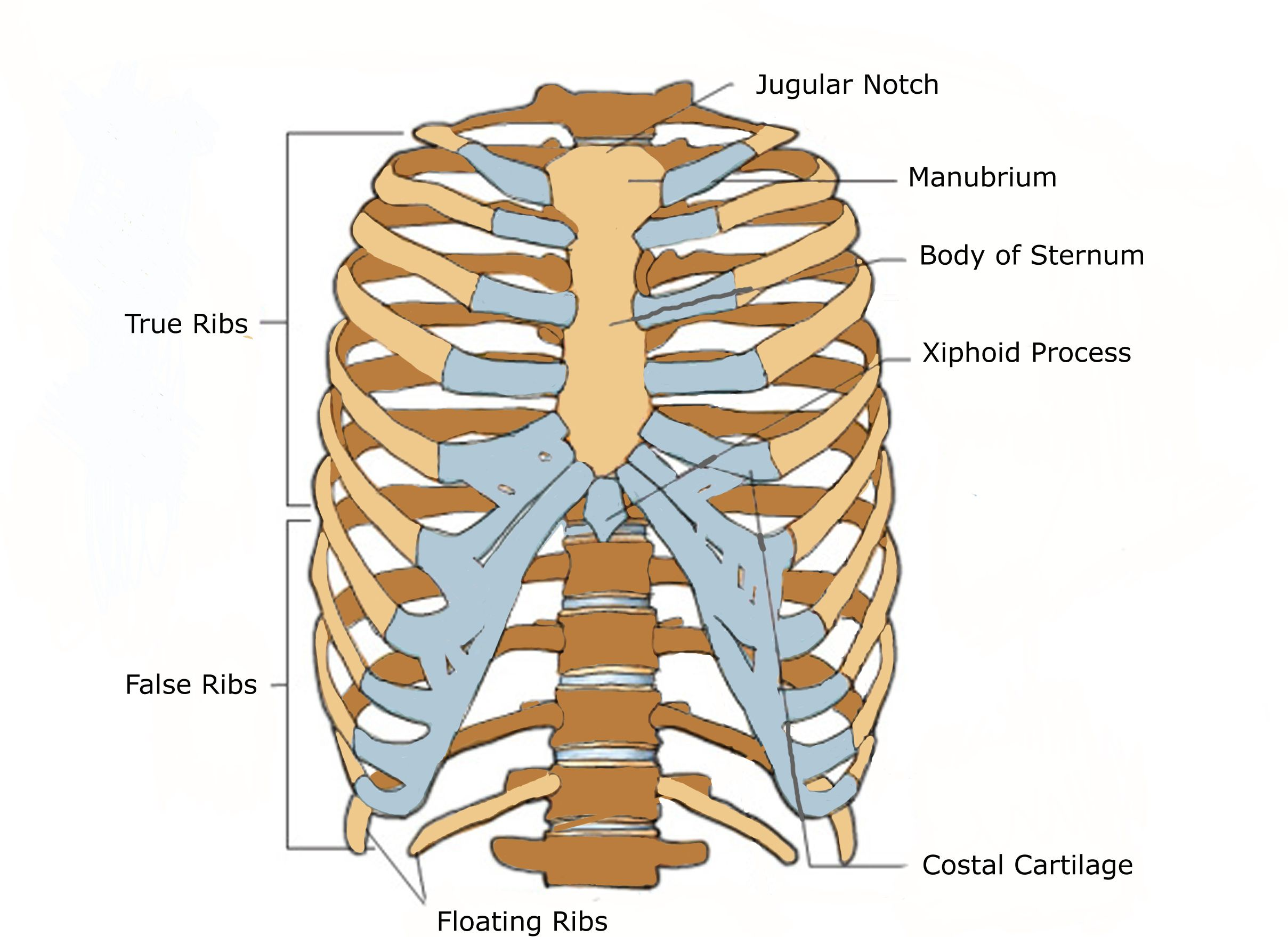 diagram of rib cage and muscles linear actuator wiring anterior view a human thoracic physiology