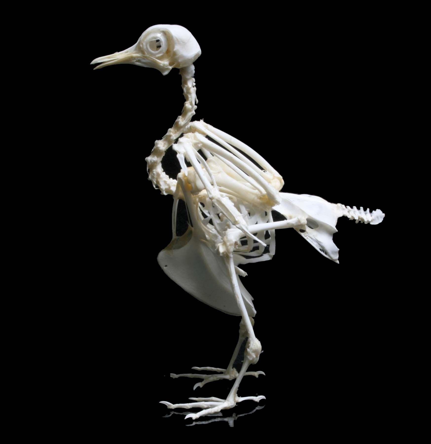duck skeleton diagram nissan 2 5 engine articulated pigeon bones pinterest