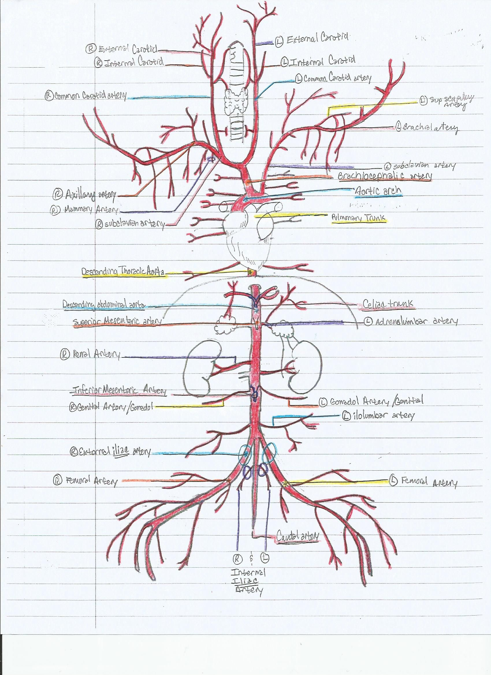 human vascular anatomy diagram sony mex n5000bt radio wiring key to the arterial of cat anp2