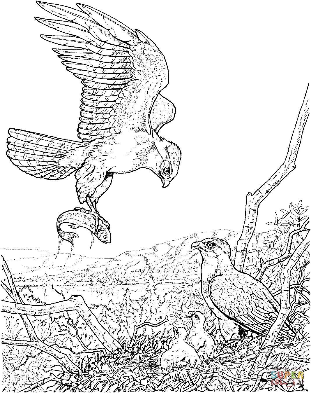 Eagle Feeding Coloring Sheets Coloring Pages Pinterest