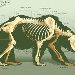 Bear Skull Diagram Internal Telephone Wiring Anatoref Anatomy Practice Makes Perfect