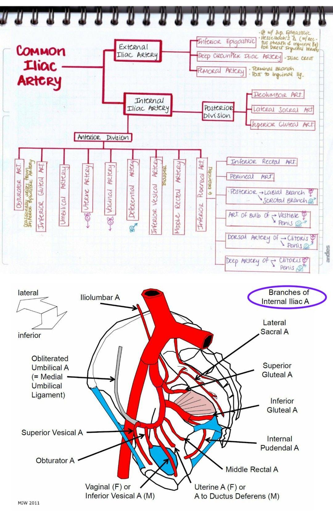 Branches Of Iliac Artery