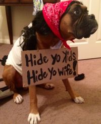 My boxer's Halloween costume this year! The infamous ...