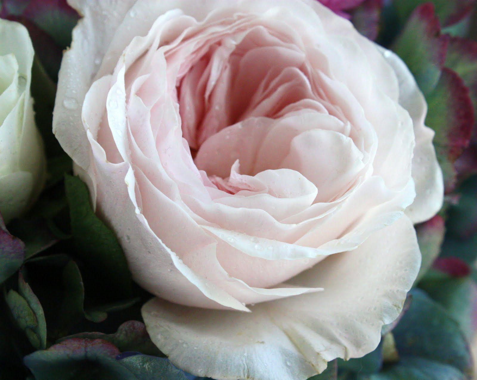 light blush garden roses  flower types  Pinterest