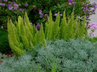 Foxtail fern is so going to be planted in MY front yard ...