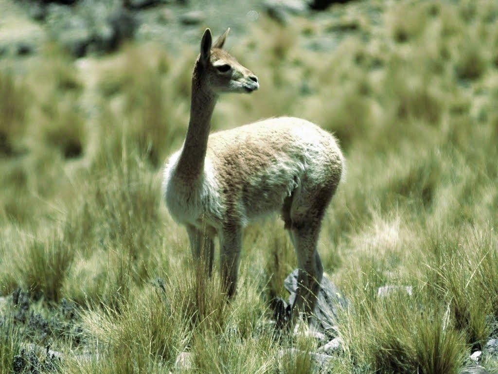 gambar Vicuna nama hewan dari huruf V  Binatang  Pinterest