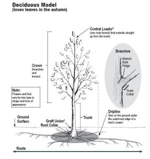 This Is How a Tree Grows and Develops