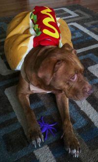 Pit Bull Halloween hot dog costume   Tips & Tricks ...