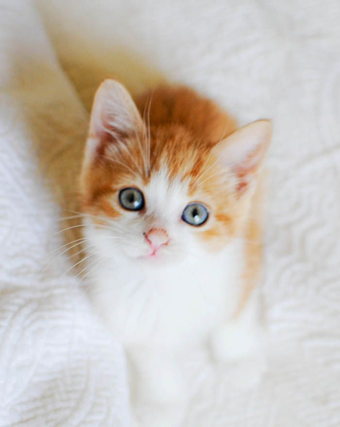 An orange and white kitten sitting on a white bed  Awe