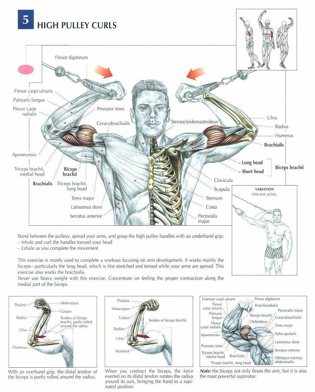 pin curl diagram simplicity landlord wiring high pulley curls  health fitness exercises diagrams
