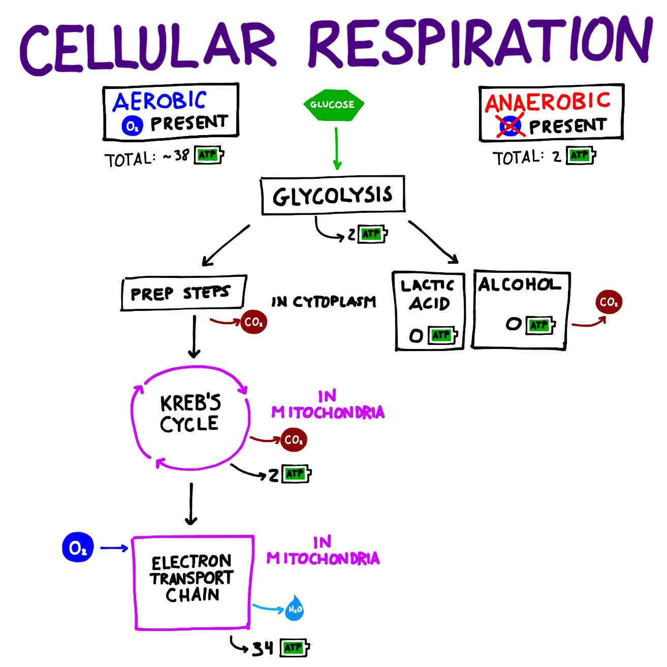 Overview Of The Major Steps Of Cellular Respiration