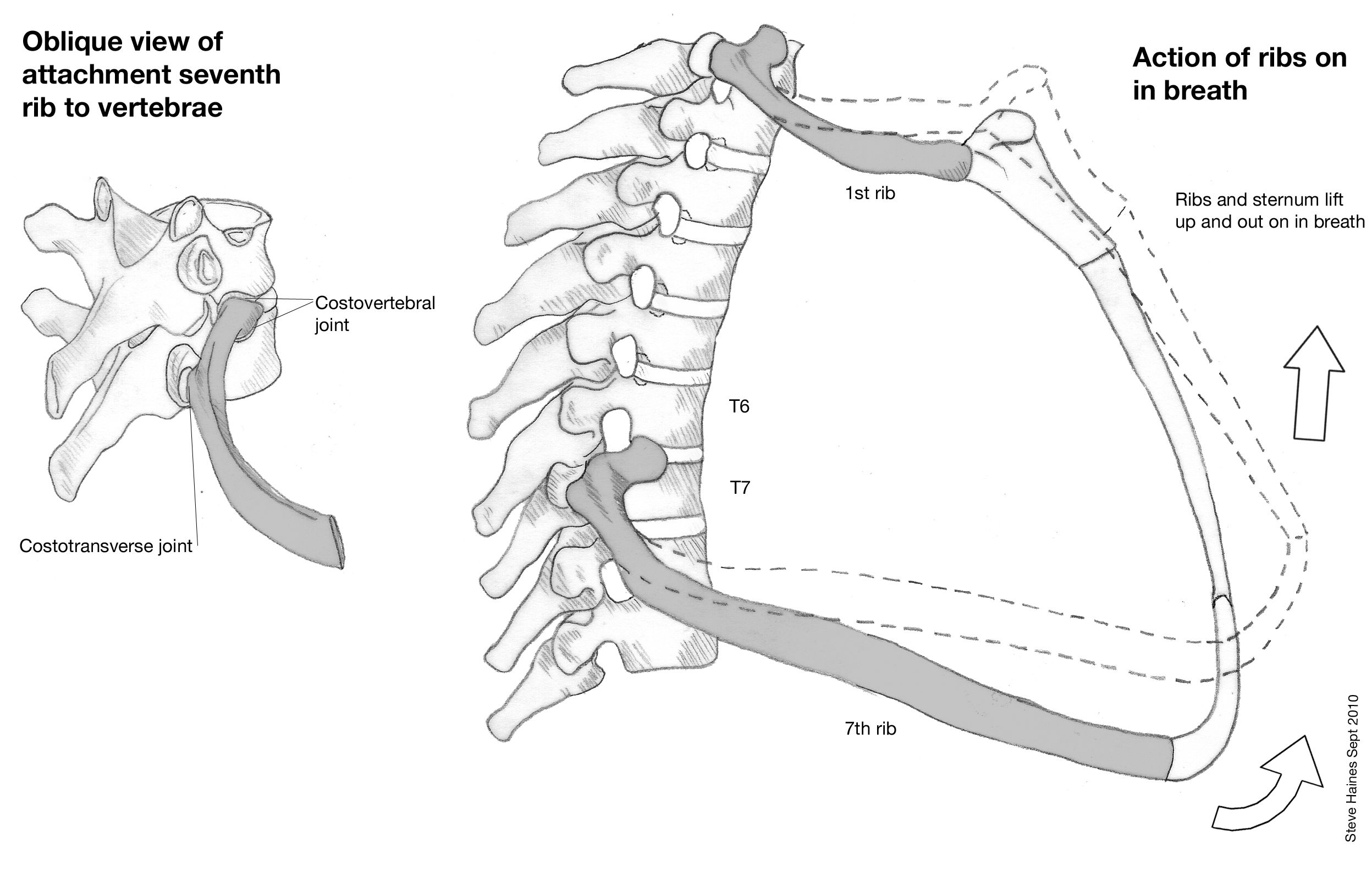 Thoracic Spine Rib Connection