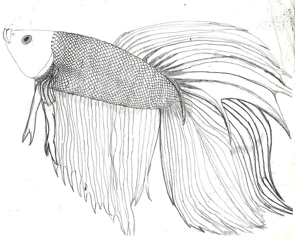 Beta Fish Art Betta Fish D And Some Info By Zs99 Betta Fish