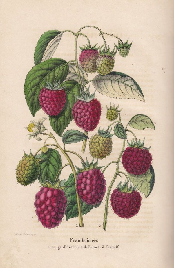 Free Vintage Botanical Printable Raspberry