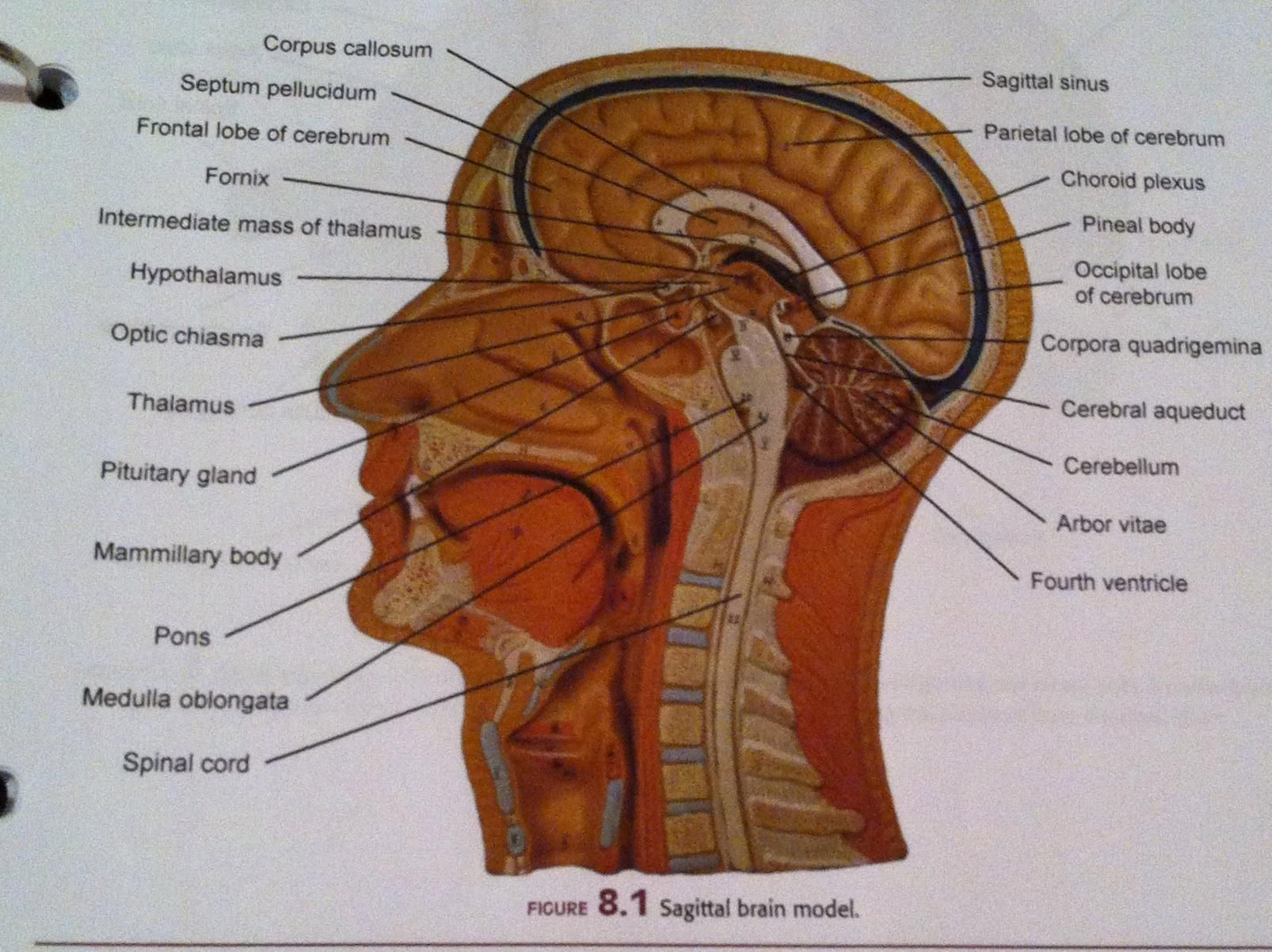 Median And Front Section Of Head Muscles Labeled