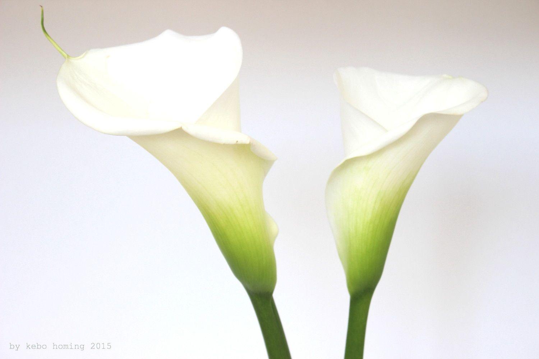 Callas Blumen Kaufen calla rot von blumenzwiebelnversand