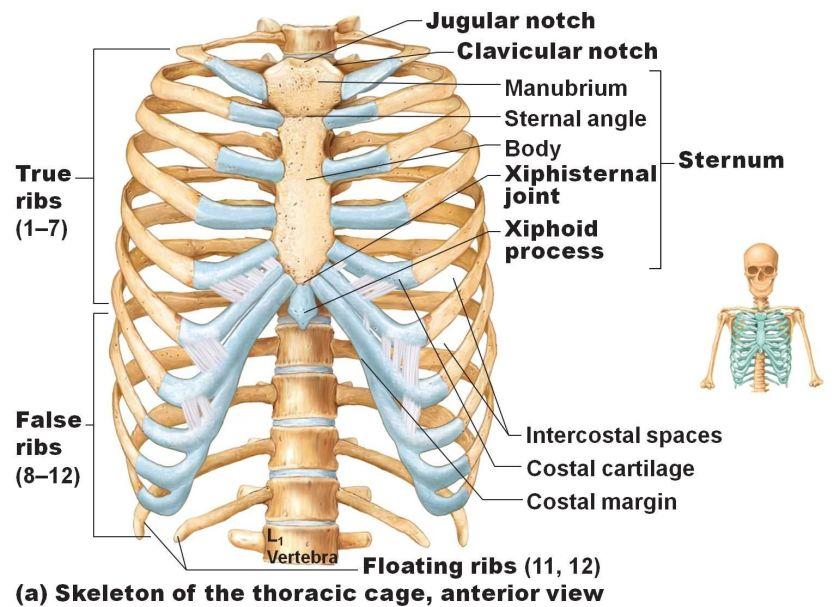 """""""ribs"""" anatomy ile ilgili görsel sonucu"""