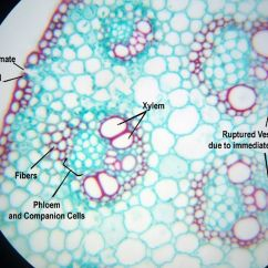 Plant Pith Diagram Cross Section 99 Jeep Xj Radio Wiring Monocot Stem C S High Magnification Anatomy Ii
