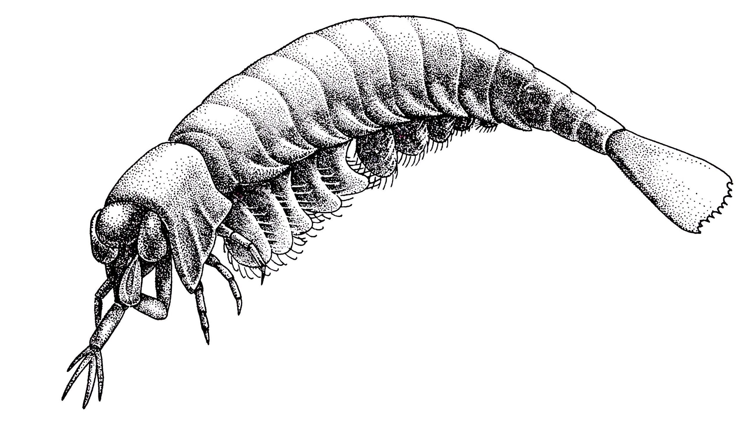Yohoia, a tiny, extinct arthropod from the Burgess Shale