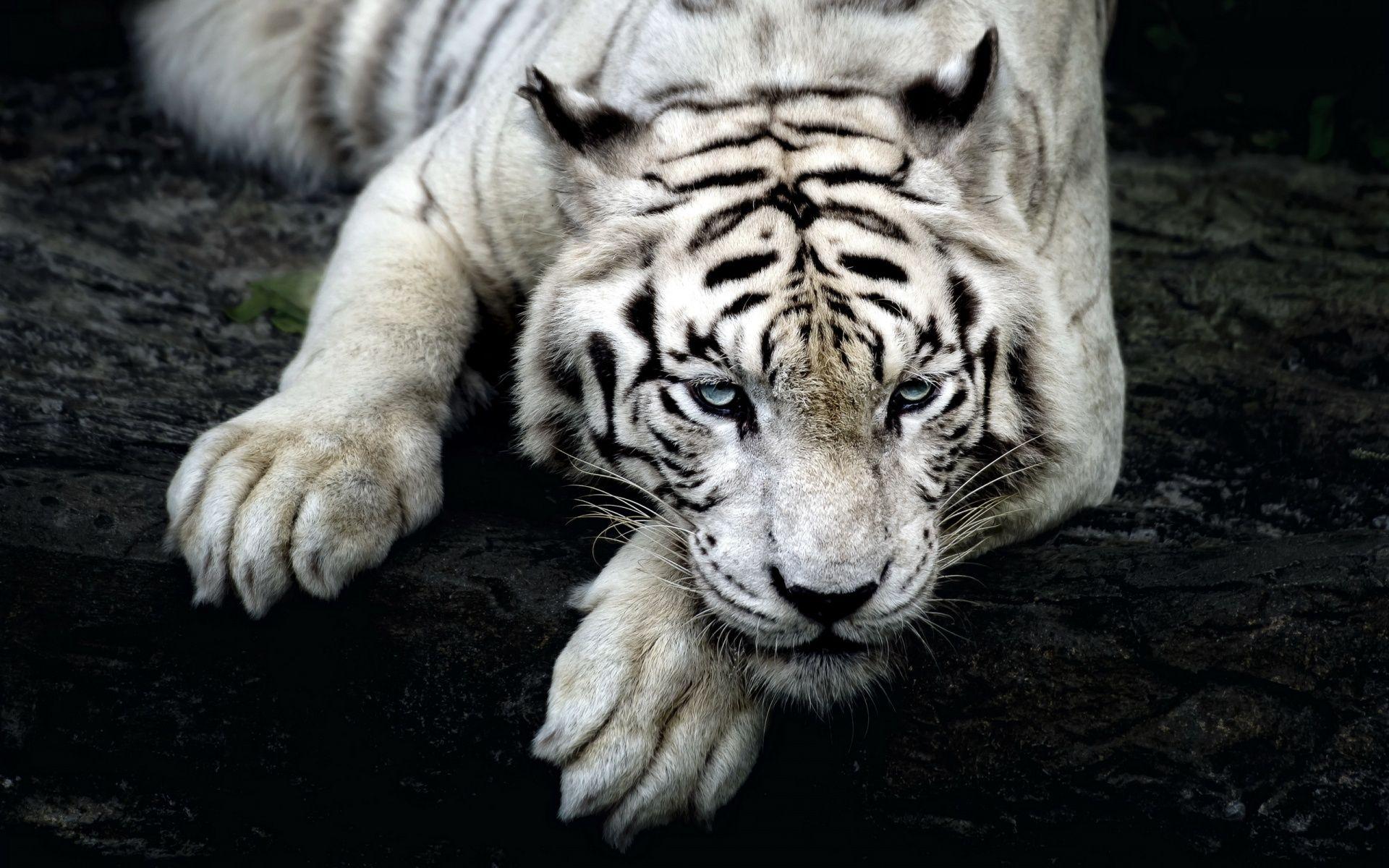 white tiger hd wallpaper in 1920x1200 | 5 elements | pinterest