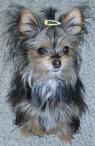 Sugar The Chorkie I Love Dogs Unconditional Love