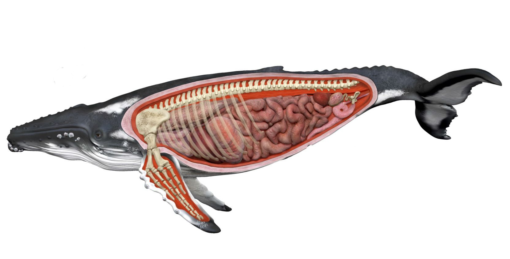 blue whale life cycle diagram triumph spitfire wiring harness humpback anatomy google search megaptera