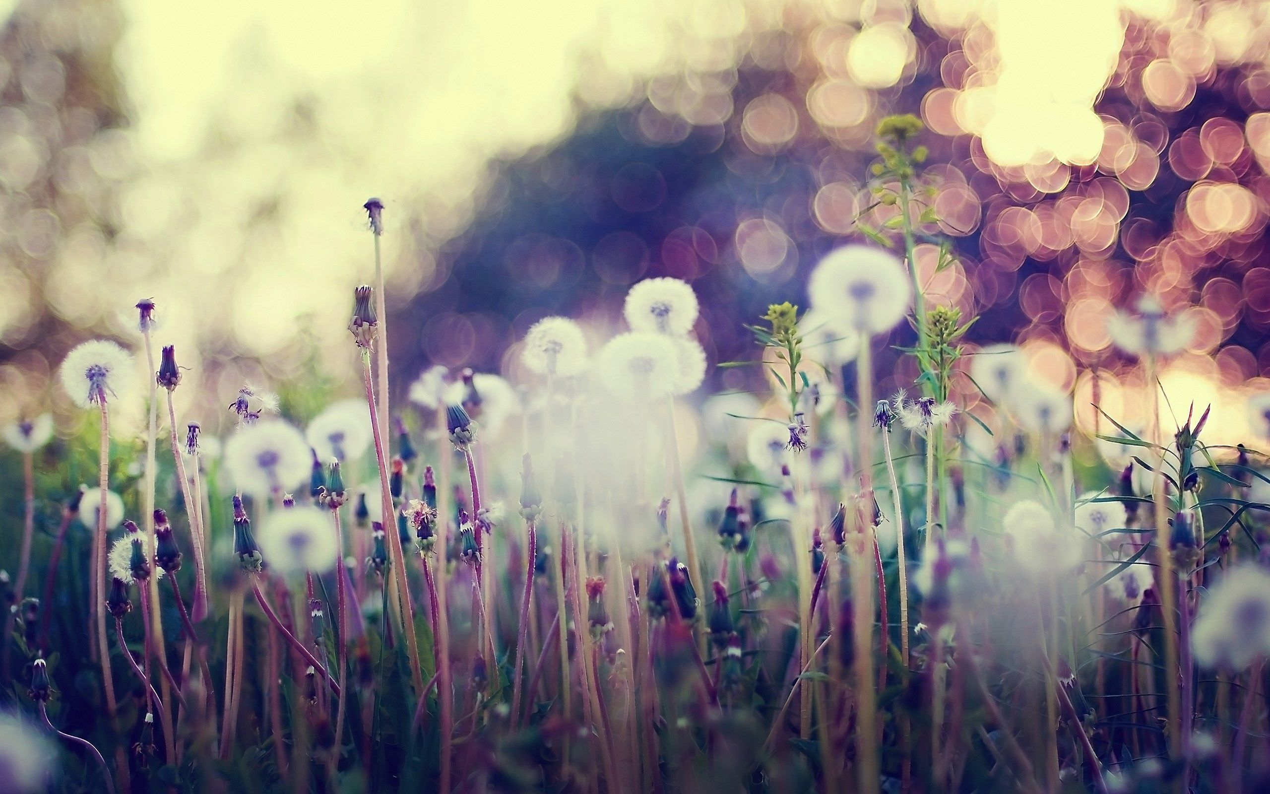 macro wallpaper | macro-dandelions-grass-flowers-nature-hd