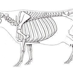 Labelled Diagram Of A Cow 4 Way Trailer Plug Wiring Ford Skeleton Animal Skeletons Pinterest