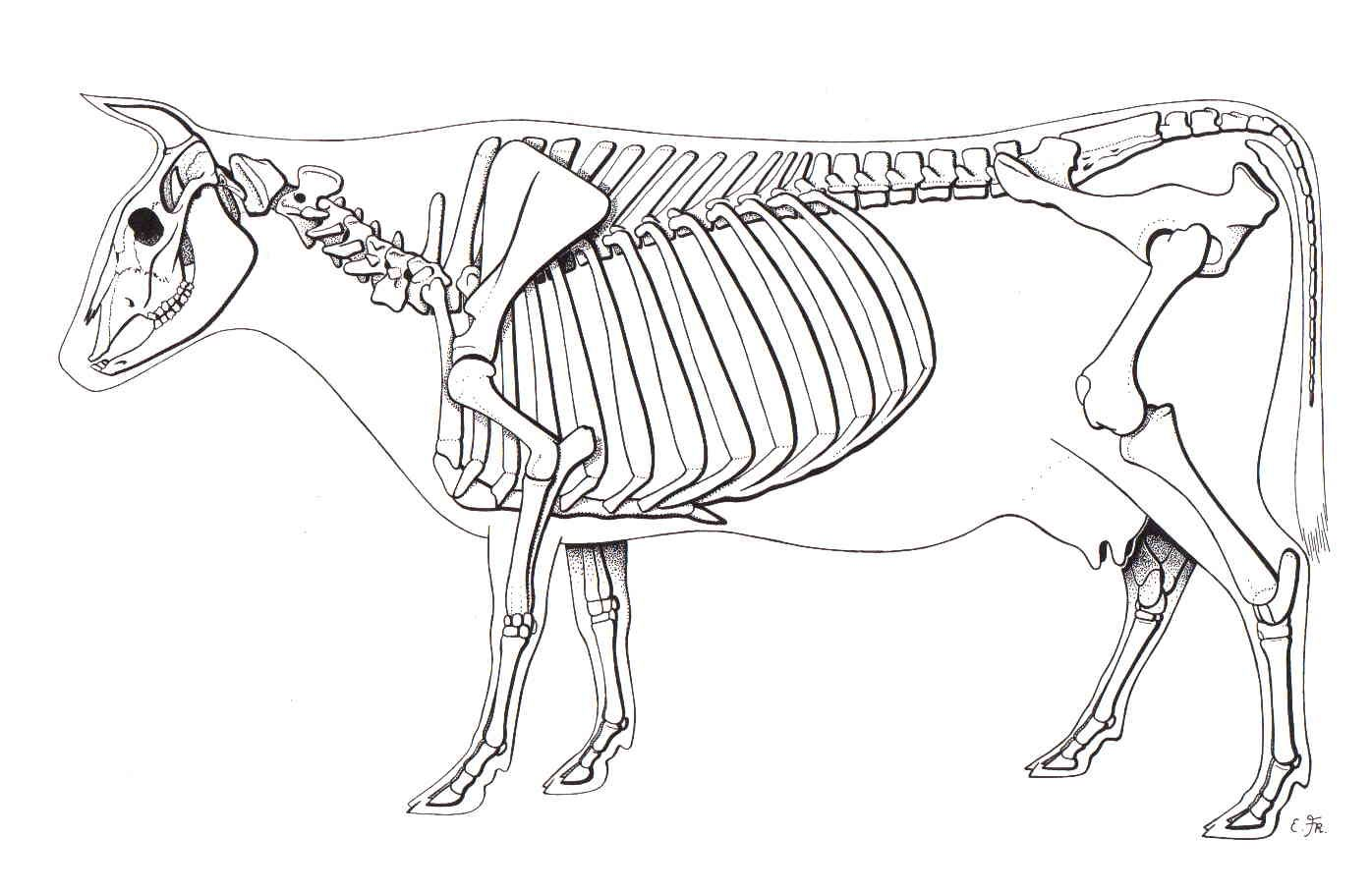 labelled diagram of a cow 05 ford explorer radio wiring skeleton animal skeletons pinterest