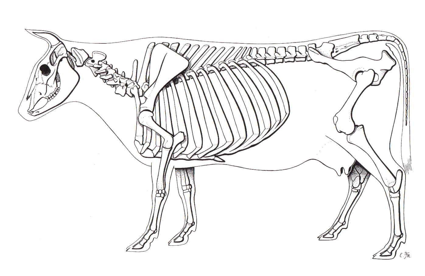 cow skeleton bones diagram ford capri wiper motor wiring animal skeletons pinterest