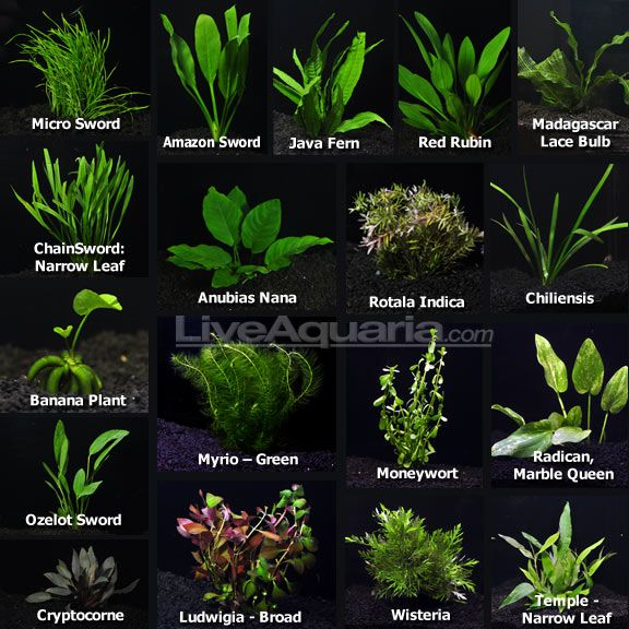 Aquatic Tank Plants