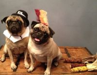 DIY: Pilgrim and Indian Dog Costumes   Pugs   Pinterest ...