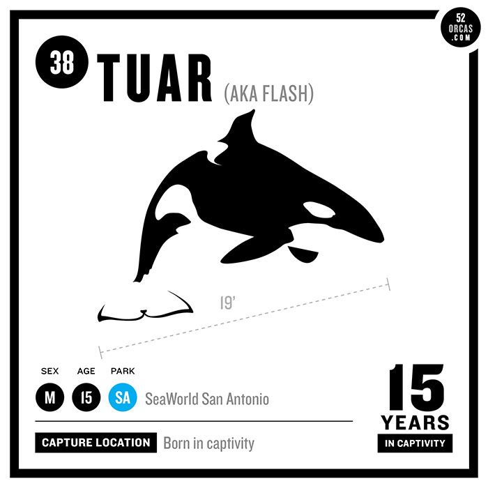38. Tuar Tuar is a genetic hybrid orca (25% Southern