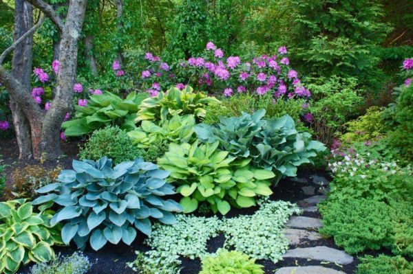 "hostas and rhododendron ""roseum"