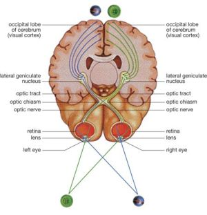 A diagram of the eyes, optic nerves, and parts of the