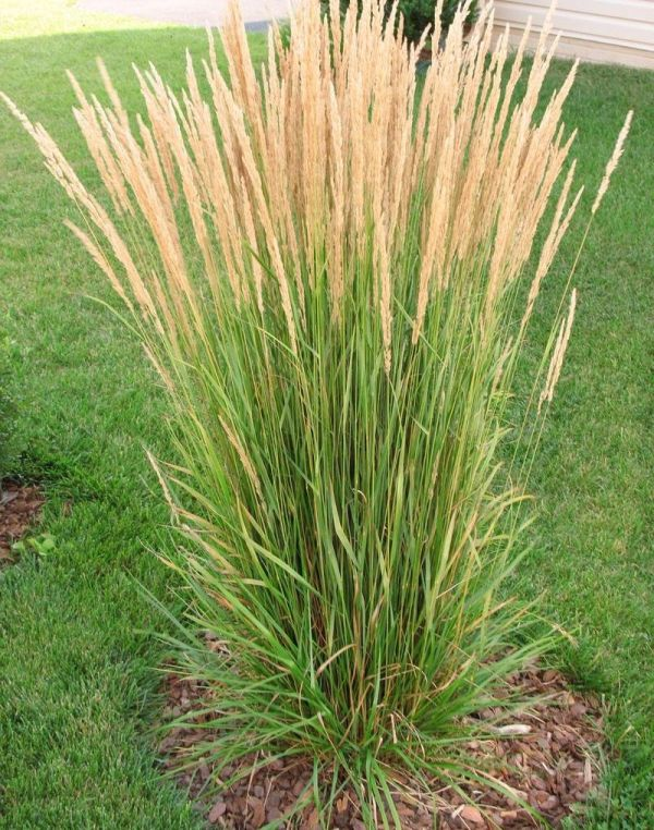 ornamental grasses landscaping