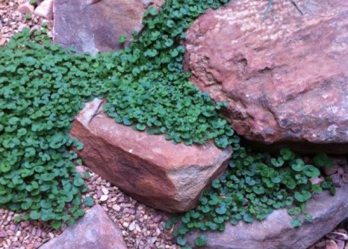 Gardens also ground cover for rocks dichondria repens piha taa terassi