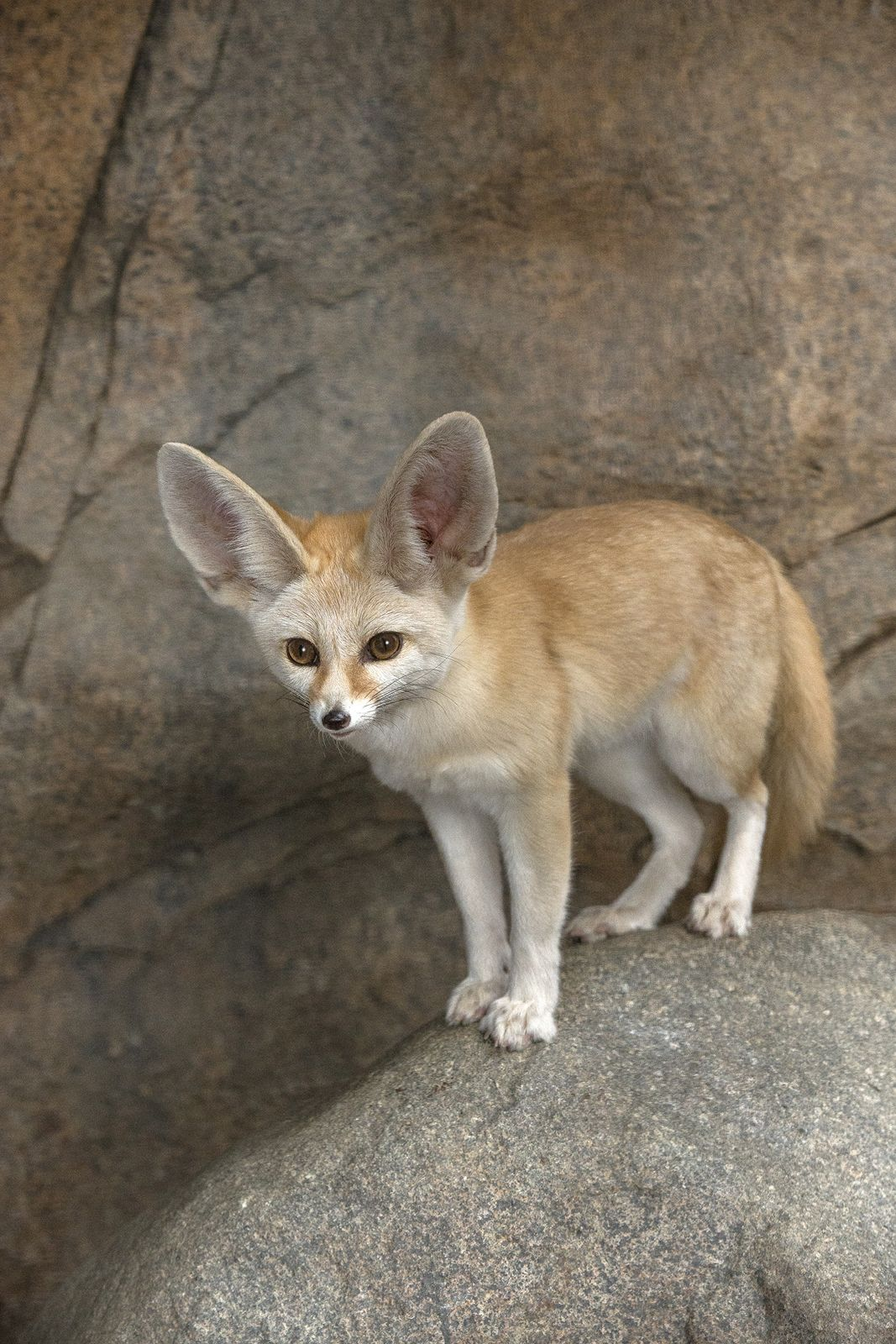 For Canids The Fennec Fox Has The Largest Ears In
