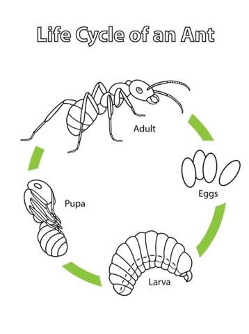 Life Cycle of an Ant Coloring page from Ants category
